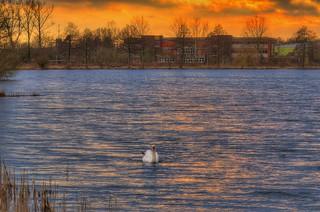 Swan in the sunset light