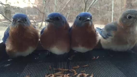 Bluebird Feeding Frenzy