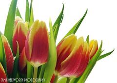 Tulips Dewdrops Landscape