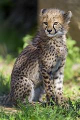 Sitting cheetah...