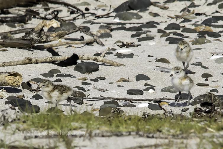 NZ Dotterel Chicks