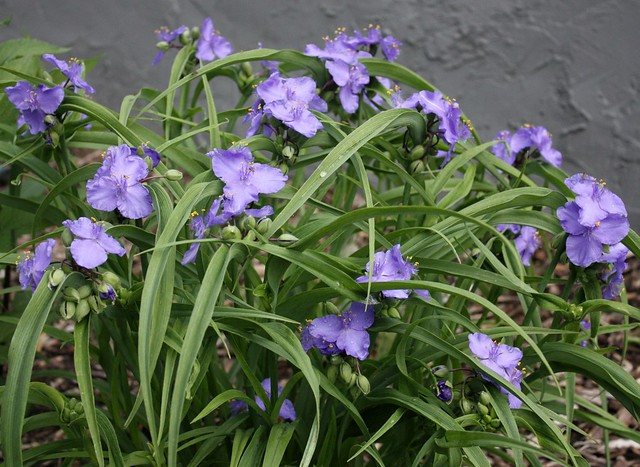spiderwort with many blooms