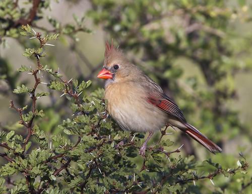 cardinaliscardinalis northerncardinal laredotx northcentralpark cardenalnorteno