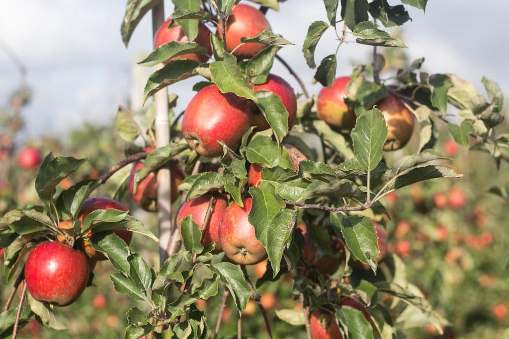 På æbleplantage - Kildebrønde frugtplantage
