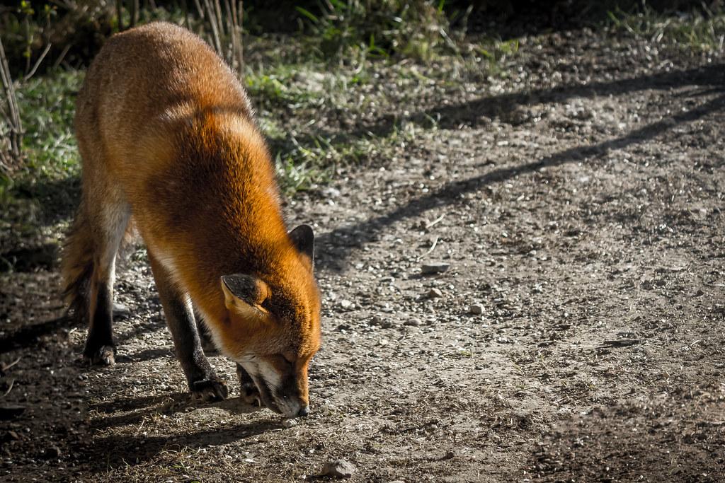 Saltholme RSPB Fox Front