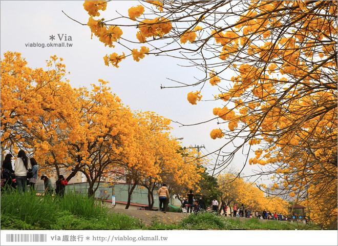 【嘉義景點】嘉義軍輝橋黃金風鈴木~全台最美的堤防!開滿滿的風鈴木美炸了!26