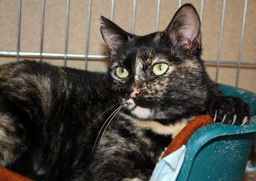 FALLECIDA- Mandala, preciosa gatita carey dulcísima de ojos verdes esterilizada, nacida en Julio´14, en adopción. Valencia. 16613875528_95c1cc3dd8