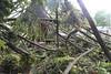 tree damage bunya pine uniting church daylesford_9968