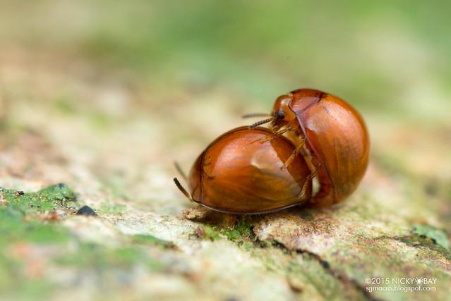 Darkling beetle (Tenebrionidae) - DSC_3802
