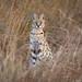 Serval Cat by Will Burrard-Lucas | Wildlife