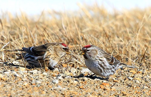county howard reis iowa larry springs lime common redpolls