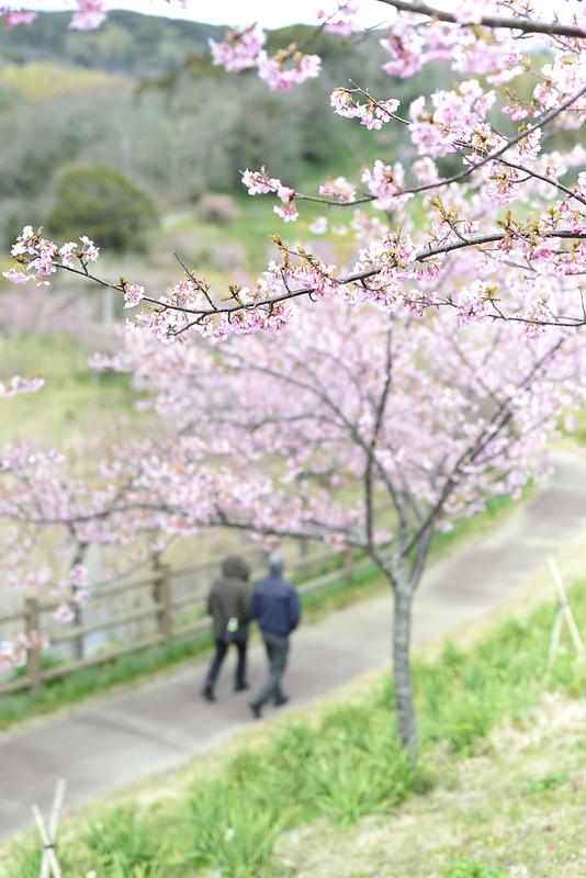佐久間ダムの頼朝桜