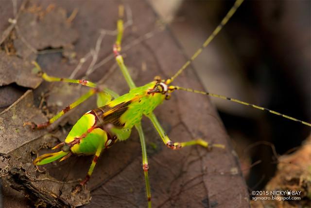 Katydid (Tettigoniidae) - DSC_3638