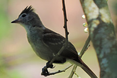 San Ignacio - Juvenile Tropical Peewee