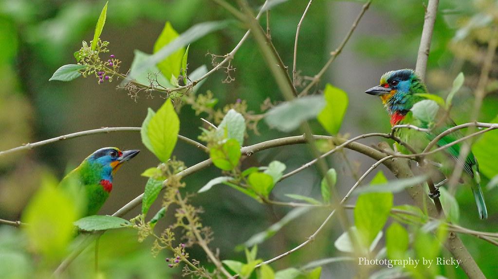 冬季的五色鳥