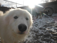 animal, dog, maremma sheepdog, slovak cuvac, carnivoran, great pyrenees, samoyed,