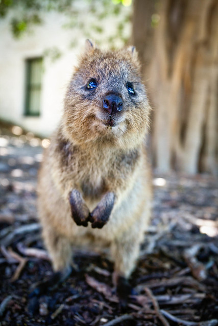 Smile for the camera! Quokka, the worlds most happiest animal!