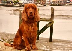 dog breed, animal, sussex spaniel, dog, pet, field spaniel, irish setter, setter, spaniel, carnivoran,