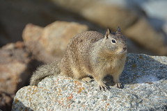 animal, squirrel, fox squirrel, rodent, nature, fauna, close-up, whiskers, wildlife,