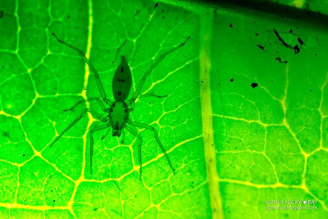 Sac spider (Clubionidae) - DSC_9536
