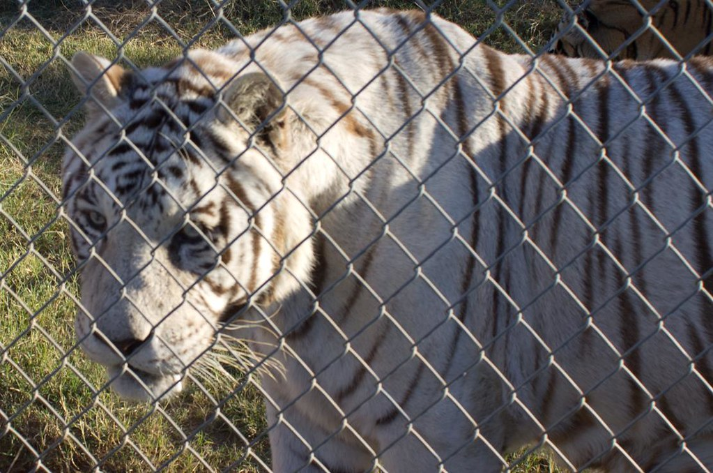 White Tigers face
