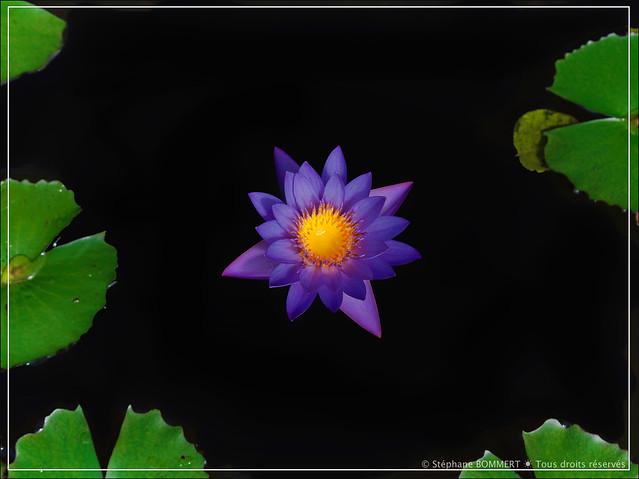 Fleur (parfaite) de nénuphar
