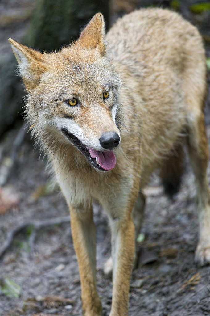 Pretty young wolf