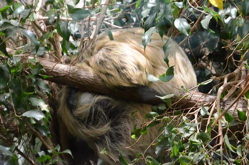 Faultier im Züricher Zoo