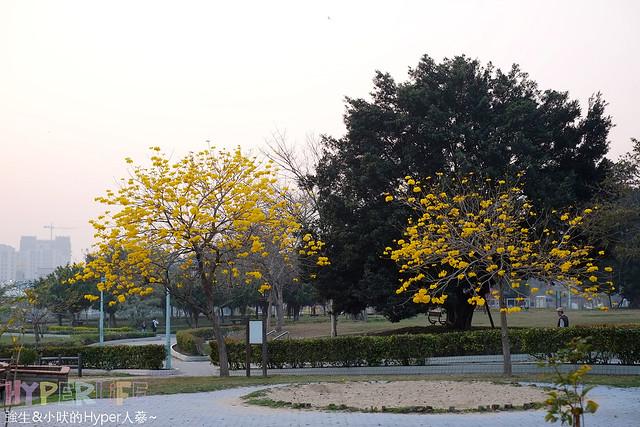 廍子公園 黃花風鈴木 (3)