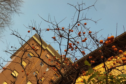 Un albero di cachi a #Milano