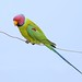 New Delhi rooftop: Plum-headed Parakeet by spiderhunters