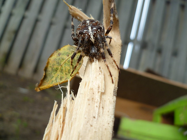 cross spider / Araneus diadematus