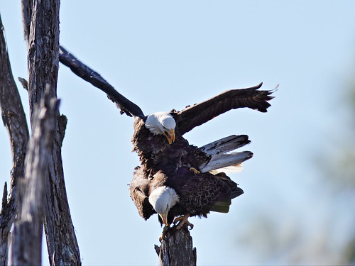 Bald Eagles mating 3-20150128
