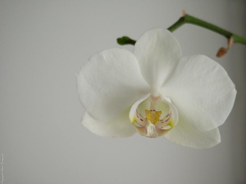 Orchidée 16395362757_85195c3a1b_c