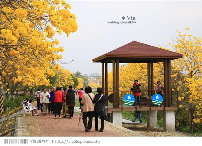 【嘉義景點】嘉義軍輝橋黃金風鈴木~全台最美的堤防!開滿滿的風鈴木美炸了!15