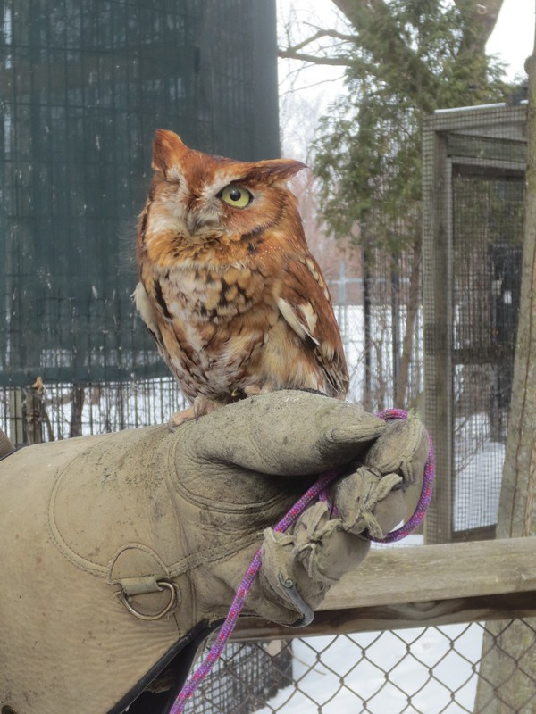 One eyed Eastern screech owl