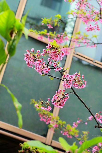 2015隨拍櫻花 (6)