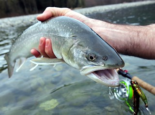 Bull Trout on the Upper Squamish River