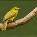 Yellow Browed Bulbul by Aravind Venkatraman