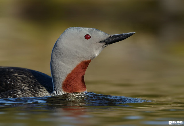 Red-Throated-Loon