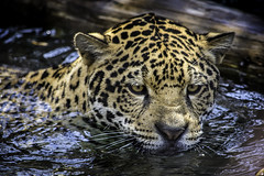 Valerio, A Male Jaguar