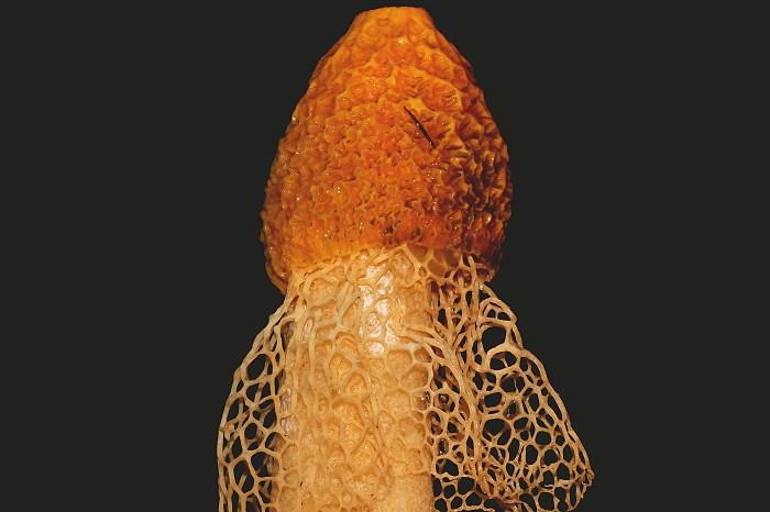 Image result for mutinus boninensis pic