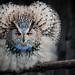Sibirischer Uhu (Bubo bubo sibiricus) by marcuspusch