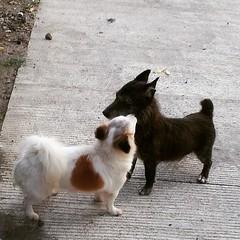 Keanna greets our neighbor Jaguar the #Terrier a good morning□□□ #cute #dogs #dogsofinstagram