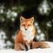 Male Fox by Robert Allan Clifford