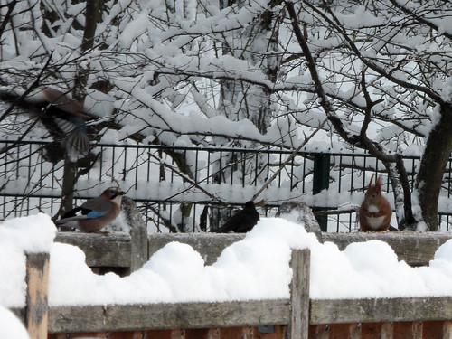 Winterfütterung: Eichelhäher, Amsel und Eichhörnchen