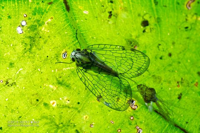 Net-winged planthopper (Nogodinidae) - DSC_4311