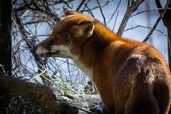 Saltholme RSPB - Fox Side
