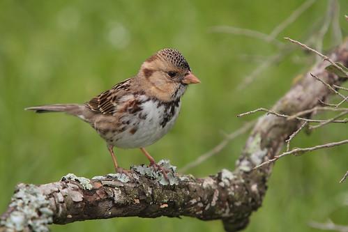 "Harris Sparrow ""Explored"""
