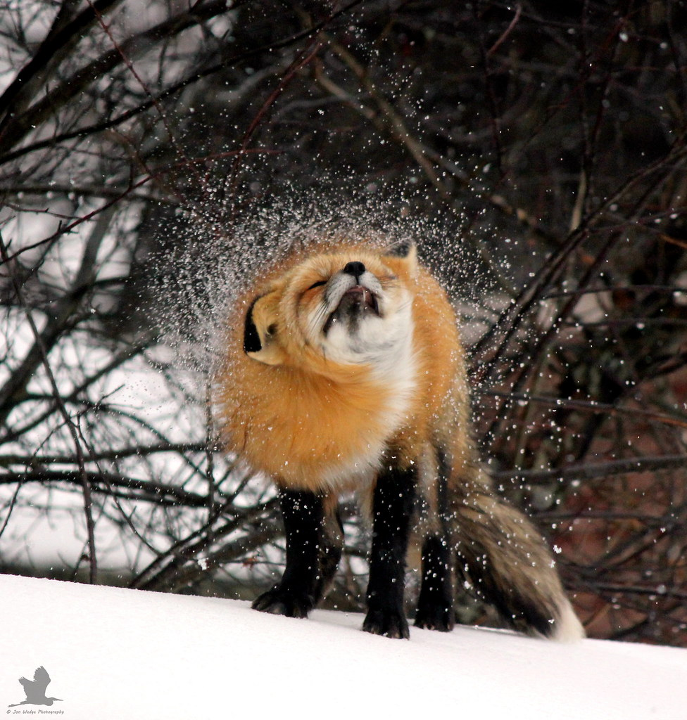 The Fox Shake.